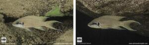 Neolamprologus brichardi Namliba