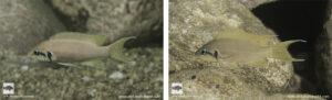 Neolamprologus brichardi Nausingili