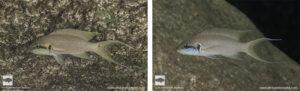 Neolamprologus brichardi Sangalawe