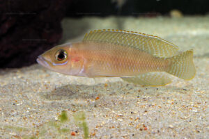 Neolamprologus ventralis du Burundi