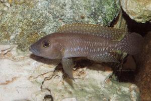 Neolamprologus sp. aff. ventralis de Kasanga