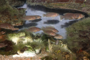 Neolamprologus multifasciatus en aquarium