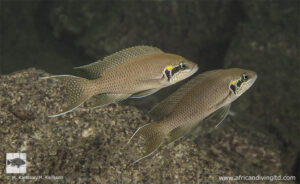 Neolamprologus brichardi - Bulu point