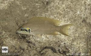 Neolamprologus brichardi Bulu point
