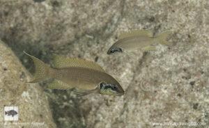 Neolamprologus brichardi Chamepa point