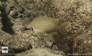 Neolamprologus brichardi Kamamba island 2