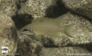 Neolamprologus brichardi Kerenge island