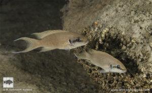 Neolamprologus brichardi Kisi island