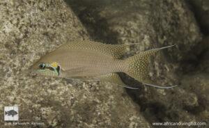 Neolamprologus brichardi - Kungwe point