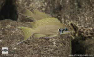 Neolamprologus brichardi Lwasase