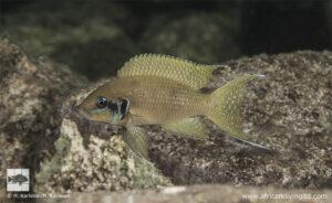 Neolamprologus brichardi Lwasase east