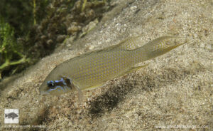 Neolamprologus brichardi - Mvuna