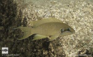 Neolamprologus brichardi Nkondwe island