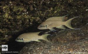 Neolamprologus brichardi Semwe