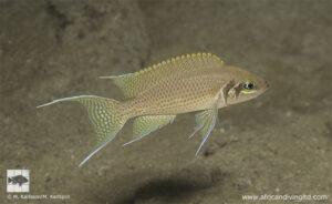Neolamprologus pulcher Kansombo