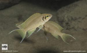Neolamprologus pulcher Kasombo