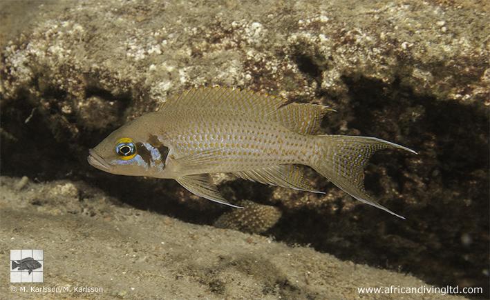 Neolamprologus pulcher Katondo