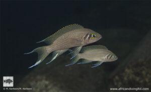 Neolamprologus pulcher Kitawe