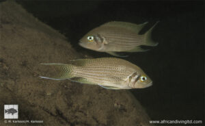 Neolamprologus pulcher - Lamvya