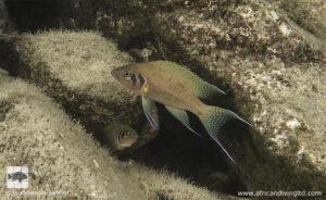 Neolamprologus pulcher Mpando