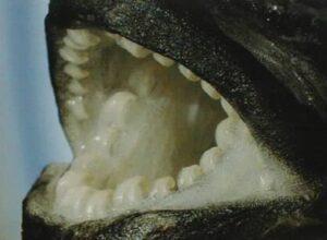 Denture Perissodus straeleni