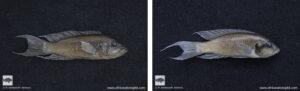 brichardi pulcher preserved