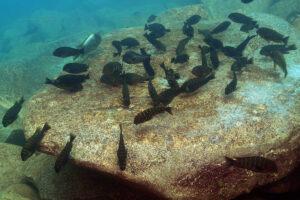 Tropheus, Simochromis, Petrochromis
