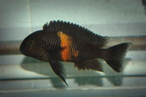 Tropheus sp. black (Pemba)