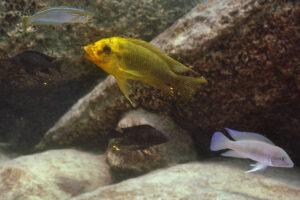 Petrochromis à Mpimbwe